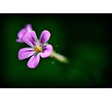 Pink Herb Robert Wildflowers Photographic Print