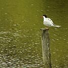 Common Tern on a pole by steppeland