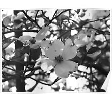 Magnolia Tree Flowers Poster