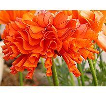 Ruffled Ranunculus Photographic Print