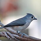 Young tufted titmouse by Linda Crockett