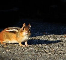 Chipmunk 2 by photonista