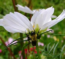 Bumble Bee on Cosmos by Nina-Rosa
