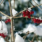 Winter Berries by photonista