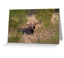 Moose in rut - Algonquin Park, Canada Greeting Card