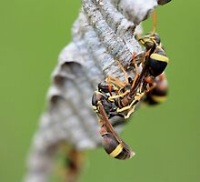Wasps by cathywillett