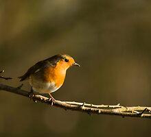 Robin by Anne Gilbert