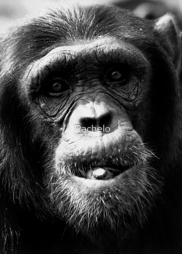 Chimpanzee by Rachelo