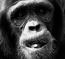 Chimpanzee by Rachelo