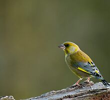 Greenfinch by Anne Gilbert