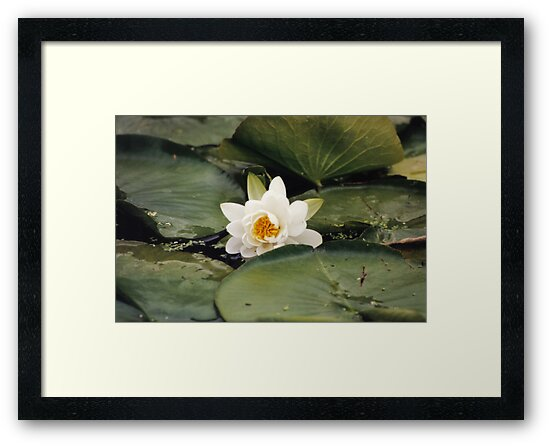 Floating Lily by Lorelle Gromus