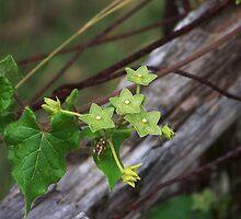 Pearl Milkweed Vine by Penny Odom
