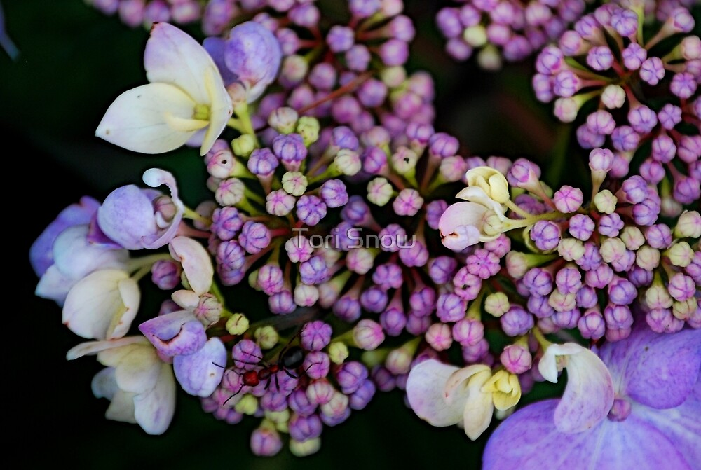 An Ant on Hydrangea  by Tori Snow