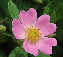 Wild Rose by Ron Russell