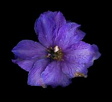 Delphinium Wilt by Marvin Hayes