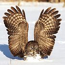 Caught - Great Grey Owl by Jim Cumming