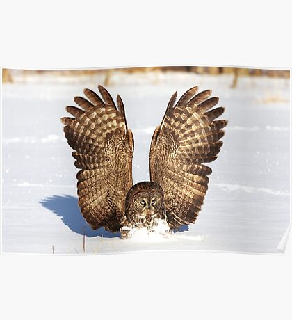 Caught - Great Grey Owl Poster