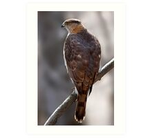 Cooper's Hawk profile Art Print