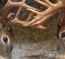 Clash of the Titans - White-tailed Bucks Sticker