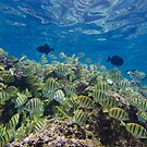 Convict Tangs and Triggerfish by thatche2
