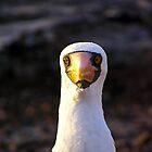 Masked Booby, Islas Galapagos by Nick  Taylor