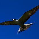 Sooty Tern by john  Lenagan