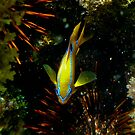 Multi -spine Damsel Fish by john  Lenagan