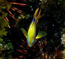 Multi -spine Damsel Fish by john  Lenagan