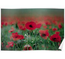 Poppy fields 4 Poster