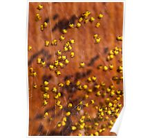 Baby yellow spiders Poster