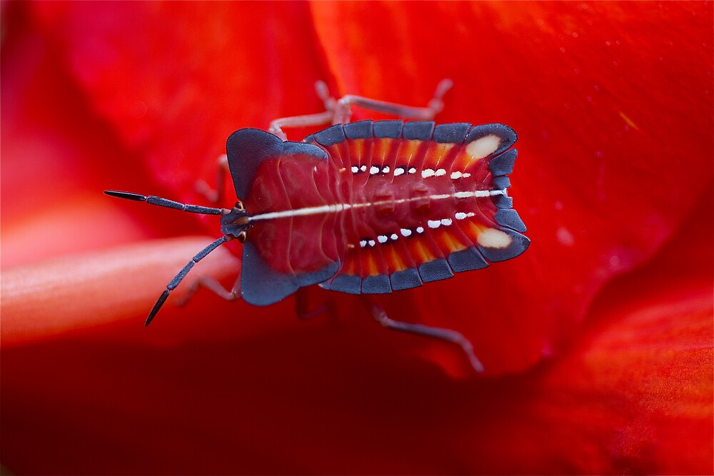 Thai stink bug by John Spies