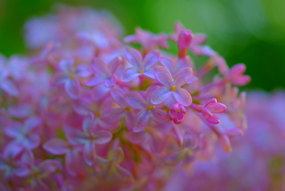 *** NATURALLY FRESH ~ SPRING LILAC **** by JETAdamson