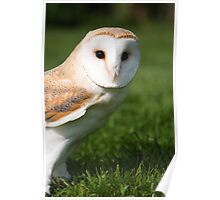 Portrait of a Barn Owl Poster
