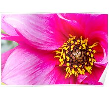 Sexy Hot Pink Dahlia Poster