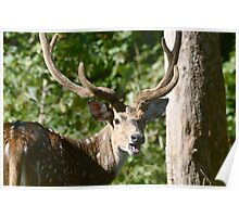 Chital Stag-Ranthambore National Park India Poster