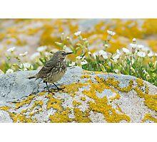 Rock pipet, Saltee Island, County Wexford, Ireland Photographic Print