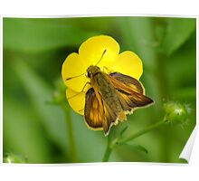 Skipper Moth On A Buttercup Poster