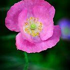 Pink Poppy  by Saija  Lehtonen