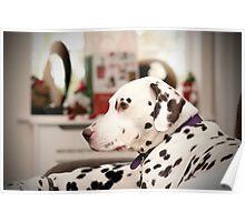 dalmatian relaxing at home Poster
