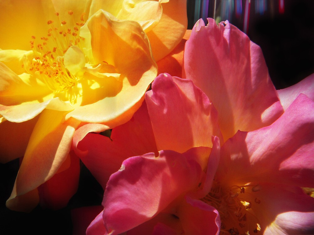 Pink and Yellow Roses by Tama Blough