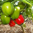 Peppers by Marilyn Bell