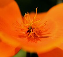 Poppy Orange by aprilann