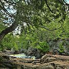 Old Cedar by by Marvil LaCroix