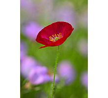 Single Red Poppy  Photographic Print