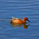 Cinnamon Teal by John Absher