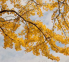Ginkgo Autumn by louise