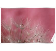 Dandelion seeds and droplets in pink Poster