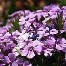purple phlox by Linda  Makiej