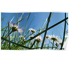 Looking Up in a field of Daisies Poster