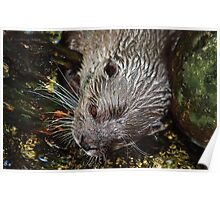 Small clawed otter Poster
